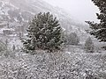 2014-06-17 09 13 02 Snow in June on Whitebark Pines and Willows with immature foliage at Roads End in Lamoille Canyon, Nevada.jpg
