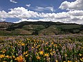 2014-06-24 12 17 24 View east across a field of wildflowers towards the Fox Creek Mountains from Elko County Route 748 (Charleston-Jarbidge Road) on the east side of Copper Basin, Nevada.jpg