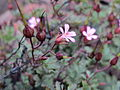 20140810Geranium robertianum1.jpg