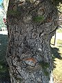 2015-03-27 16 02 31 Colorado Spruce with trunk sprouts at Great Basin College in Elko, Nevada.JPG