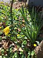 2015-04-13 14 35 23 Daffodil beginning to bloom on Terrace Boulevard in Ewing, New Jersey.jpg