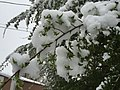 2015-05-07 07 29 21 New green leaves covered by a late spring wet snowfall on a Siberian Elm on South 7th Street in Elko, Nevada.jpg