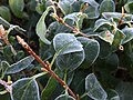 2015-10-19 07 44 47 Frost on Forsythia leaves along Tranquility Court in the Franklin Farm section of Oak Hill, Virginia.jpg