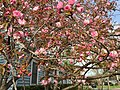 2017-04-10 17 28 59 Kanzan Japanese Cherry flowers starting to open along White Barn Lane at White Barn Court in the Franklin Farm section of Oak Hill, Fairfax County, Virginia.jpg