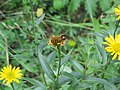 2017-07-28 (122) Buphthalmum salicifolium (ox-eye) at Haltgraben in Frankenfels.jpg