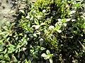 20180213Arenaria serpyllifolia1.jpg