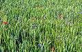 20180524155DR Tronitz (Dohna) Feldblumen Müglitztal.jpg