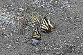 2019-06 Jasper National Park (04) Papilio canadensis.jpg