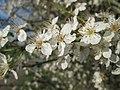 20190320 Prunus cerasifera 07.jpg