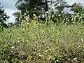 20190507Arenaria serpyllifolia1.jpg