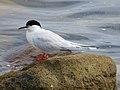 2020-07-18 Sterna dougallii, St Marys Island, Northumberland 04.jpg