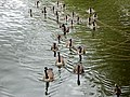 25 Canada geese (Branta canadensis) (7629277918).jpg