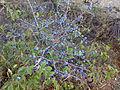 290820132069-Rostov-Region-Prunus-Spinosa.jpg