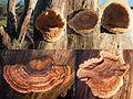 2 Ischnoderma benzoinum (Benzoin Bracket, D= Schwarzgebänderter Nadelholz Harzporling, F= Polypore à odeur de benjoin, Syn. Polypore balsamique, NL= Teervlekkenzwam) white spores and causes white rot, at a Fir tree De - panoramio.jpg