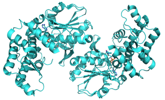 3-dehydroquinate synthase - Ribbon representation of the Helicobacter pylori 3-dehydroquinate synthase.