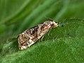 49.108 BF930 Gynnidomorpha alismana, male (5881233447).jpg