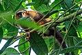 4 day trip to La Selva Lodge on the Napo River in the Amazon jungle of E. Ecuador - Dusky Titi Monkey (Callicebus discolor) - (26865964285).jpg