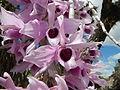 5604Camachile Doña Remedios Trinidad Orchids Bulacanfvf 04.JPG