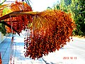 A@a palm Trees Deftera village nicosia cy. - panoramio (7).jpg