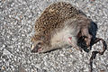 A-hedgehog-killed-in-a-road-accident.jpg