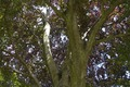 AB ND1 Fagus sylvatica purpurea crown.tif