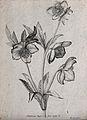 A Christmas rose or black hellebore (Helleborus niger); flow Wellcome V0044160ER.jpg
