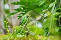 A Male Rose-ringed Parakeet feeding on Asparagus bean in Chalakudy, Kerala.jpg