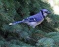 A Proud Blue Jay.jpg