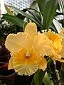 A and B Larsen orchids - Brassolaeliocattleya Malworth DSCN5027.JPG