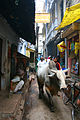 A bull walking through the bylanes of Varanasi.jpg