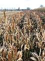 A crop of sorghum (Sorghum bicolor) - geograph.org.uk - 1070422.jpg