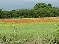 A field of poppies under a thundery sky - geograph.org.uk - 1350067.jpg