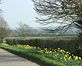 A fine display of daffodils on Spiers Piece - geograph.org.uk - 1232948.jpg