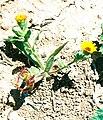A flower in Petra (wild life).jpg