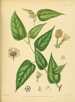 A hand-book to the flora of Ceylon (Plate LXXXV) (6430661861).jpg