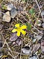 A happy, little flower on the Amisk Trail in Whiteshell Provincial Park in Manitoba, Canada. (42565449011).jpg