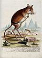 A jerboa standing in the desert next to an inscribed stone w Wellcome V0020554.jpg