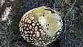 A puffball on the Idaho Panhandle National Forest (39730796314).jpg