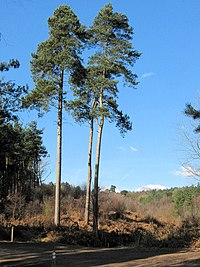 A trio of Scots Pine - geograph.org.uk - 1750728.jpg
