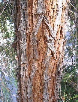 Acacia-pendula-bark
