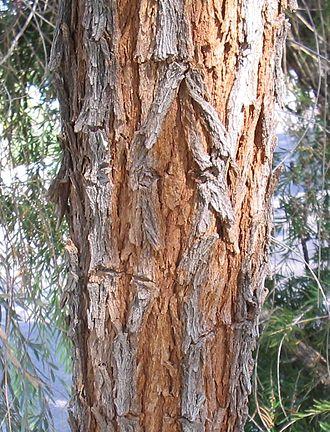 Acacia pendula - Acacia bark