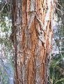 Acacia-pendula-bark.jpg