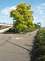 Acacia Tree On Cycle Route - geograph.org.uk - 965943.jpg