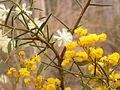Acacia genistifolia and Acacia buxifolia (6071092847).jpg