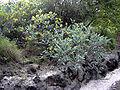 Acacia podalyriifolia habit.jpg