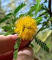 Acacia smallii 3.jpg