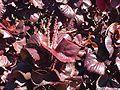 Acalypha wilkesiana.jpg