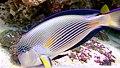 Acanthurus sohal - poisson-chirurgien zébré - Aqua Porte Dorée 04.JPG