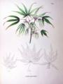 Acer palmatum SZ146.png