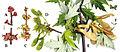 Acer saccharinum phenology.jpg